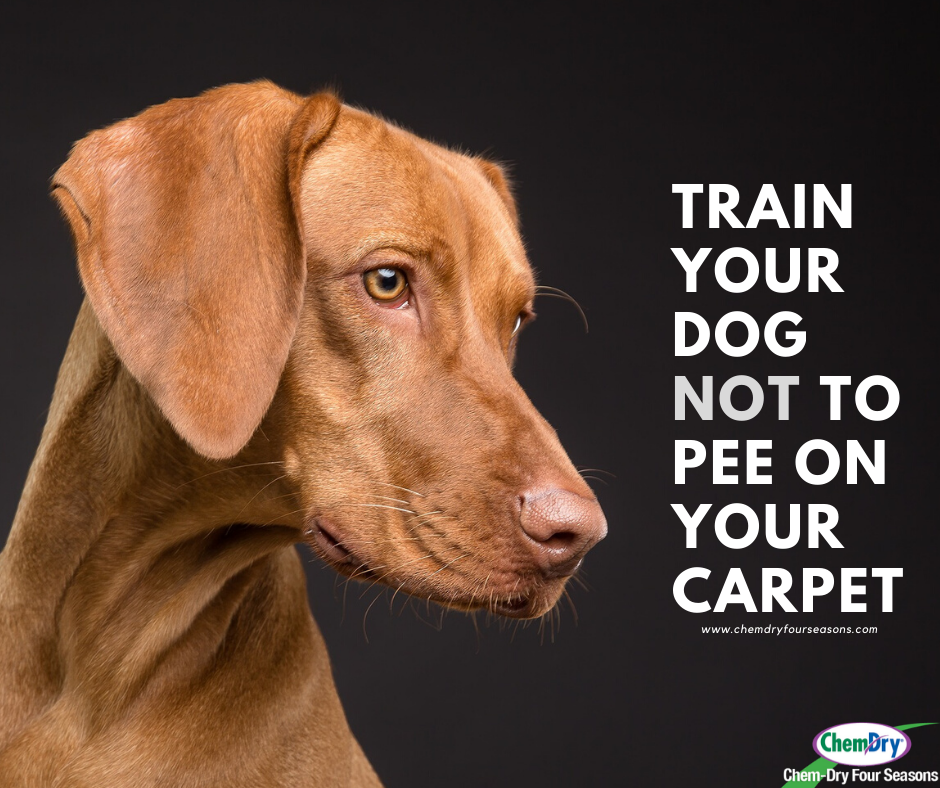 train your dog not to pee on the carpet